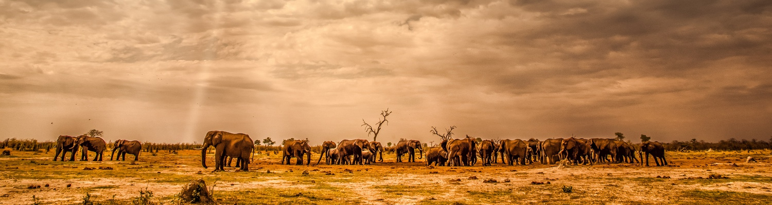 An elephant herd as seen in Botswana. Botswana has the biggest population of elephants in the world.